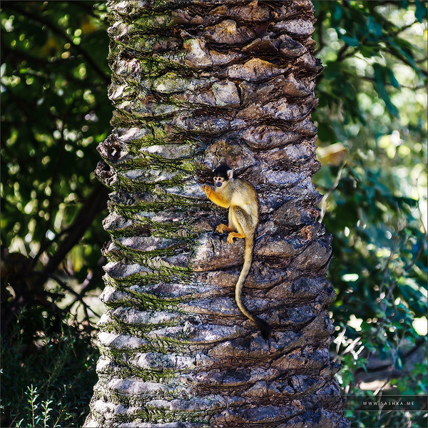 Adorable little monkey sitting on the palm tree, Sigean