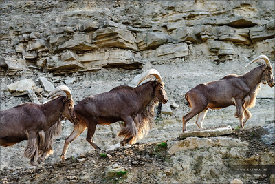 Wild mountains goats on the rock in national safari park Sigean