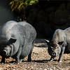Wild black boar on the sun in safari park, Sigean
