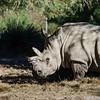 Big grey rhinoceros in safari park, Sigean