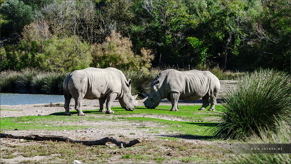 Two big rhinoceros on pasturage in safari park, Sigean