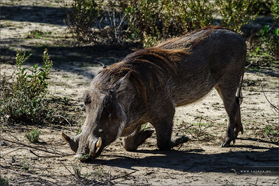 Wild boar, common warthog in safari park, Sigean