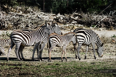 The plains zebra (Equus burchellii), also known as the common zebra or Burchell's zebra. Herd of zebras in the national park.