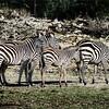 The plains zebra (Equus burchellii), also known as the common zebra or Burchell's zebra. Herd of zebras in the national park.