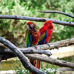 Two big colorful parrots on the tree in safari park Sigean