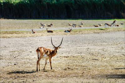 Beautiful hart in savanne, safari park Sigean, France