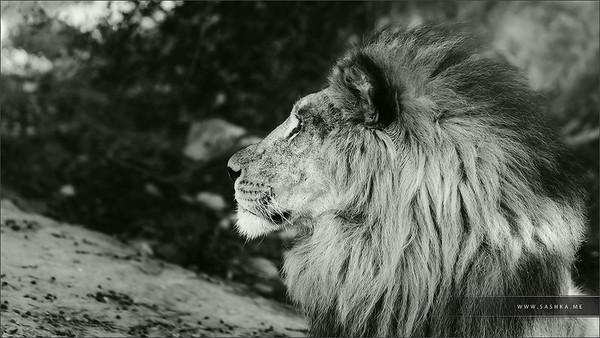 Big daunting lion portrait in safari park Sigean