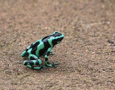 Black-and-Green Dart Frog