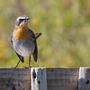 Cape Robin Chat l (Hermanus 2017)