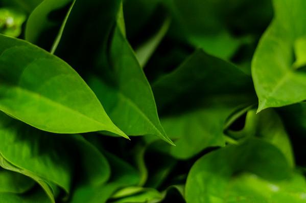 Greens for dinner