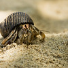 Another Hermit Crab