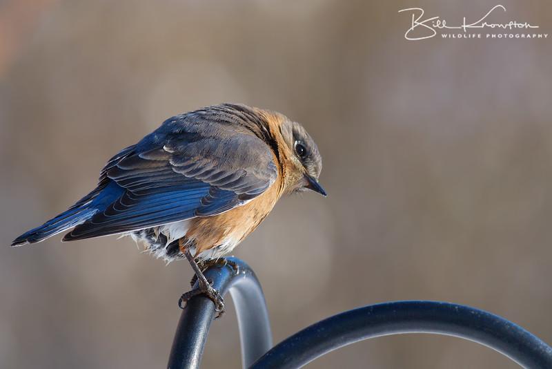 Eastern Bluebird (female) - Medway, MA - January 26, 2015