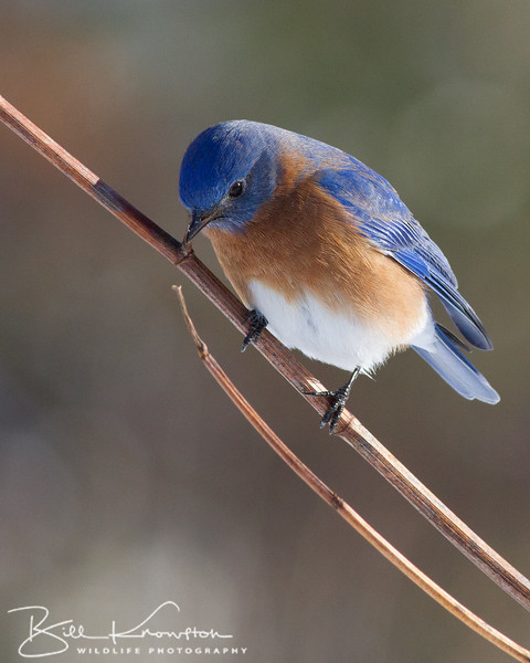 Eastern Bluebird (male) - Medway, MA - January 26, 2015