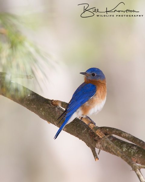 Eastern Bluebird hanging at the Glenwood Cemetery just northeast of Parker Street and Great Road in Maynard, Massachusetts on March 24, 2015.