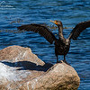 Double-Crested Cormorant along the Cape Cod Canal Bike Path on September 28, 2014.