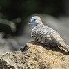 Zebra Dove - Ulua Beach Park - July 4, 2012