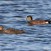 Gadwall and American Wigeon