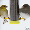 American Goldfinch and Junko