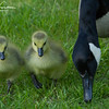 Baby Canadian Geese strolling around Stony Brook Wildlife Sanctuary in Norfolk, Massachusetts on May 30, 2015.