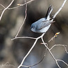 Blue-Gray Gnatcatcher - Concord, MA - April 24, 2014