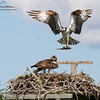 Osprey delivering the lunch at Salt Pond on Surf Drive in Falmouth, Massachusetts on August 28, 2015.