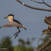 Black-crowned and Yellow-crowned Night Heron