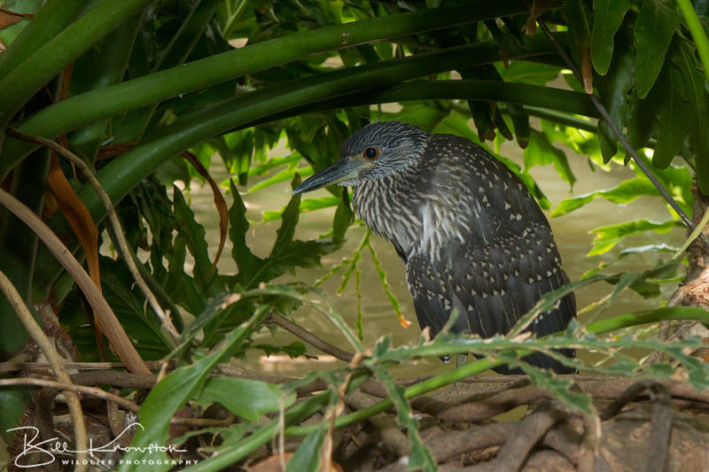 Juvenile Yellow-crowned Night-heron along the Riverwalk in San Antonio, Texas on August 22, 2015.