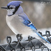 Blue Jay - Medway, MA - March 5, 2014