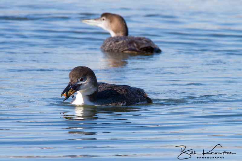 Common Loon about to eat a crab - Rye, NH - Febraury 28, 2015