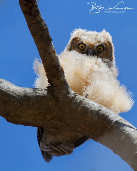 Great Horned Owlet at the Forest Hills Cemetery in Boston, Massachusetts on April 25, 2015.