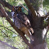 Great Horned Owl along the Violet Path at Mount Auburn Cemetery in Cambridge Massachusetts on April 11, 2015.