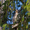 Great Horned Owl at Maudslay State Park in Newburyport, Massachusetts on May 4, 2015.