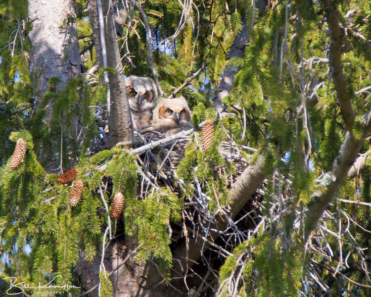 Pair of Great Horned Owlets at Maudslay State Park in Newbury, Massachusetts on May 4, 2015.