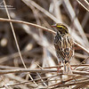 Savannah Sparrow at Great Meadows National Wildlife Refuge in Concord, Massachusetts on April 22, 2015.