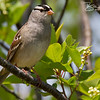 White-Crowned Sparrow at Parker River National Wildlife Refuge in Newbury, Massachusetts on May 17, 2015.