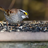 White-Throated Sparrow at Stony Brook Wildlife Sanctuary in Norfolk, Massachusetts on April 22, 2015.