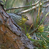 Female Cape May Warbler at Parker River National Wildlife Refuge in Newbury, Massachusetts on May 24, 2015.