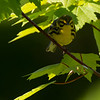 Prairie Warbler at Rocky Hill Wildlife Sanctuary in Groton, MA on May 22, 2015.
