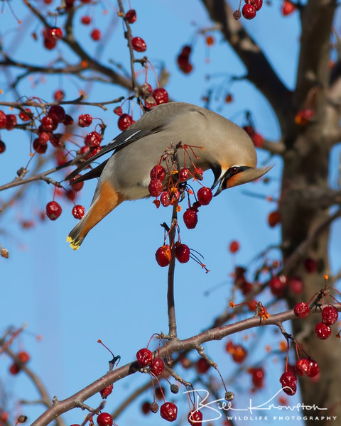 Bohemian Waxwing enjoying a crabapple at the corner of Park and Lake street in Gardner, MA on March 18, 2015.
