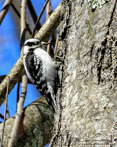 Downy Woodpecker (Female) - Sudbury, MA - April 1, 2014