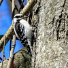 Downy Woodpecker (Female) - Sudbury, MA - April 1, 2014