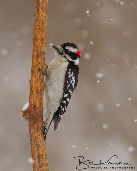 Downy Woodpecker during a snow storm in Medway, Massachusetts on March 21, 2015.