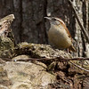 Carolina Wren - Medway, MA - April 12, 2014