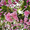 """Konohanasakuya-hime"" - The Blossom Princess"