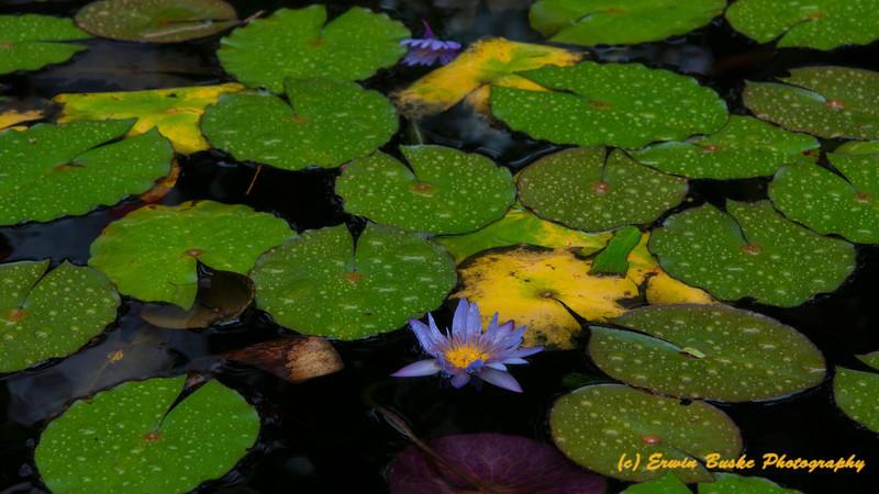 Lily Pond at Lyon Arboretum Oahu