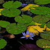 Lily Pond at Lyon Arboretum Oahu