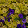Coleus and Petunias