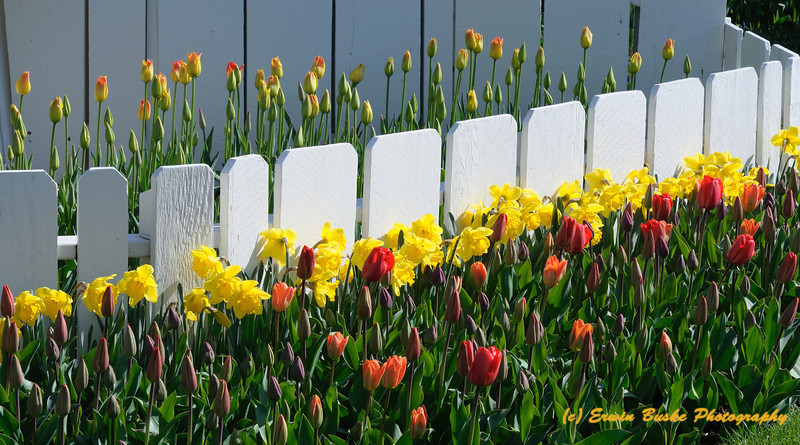 Rosencrantz Tulip Garden