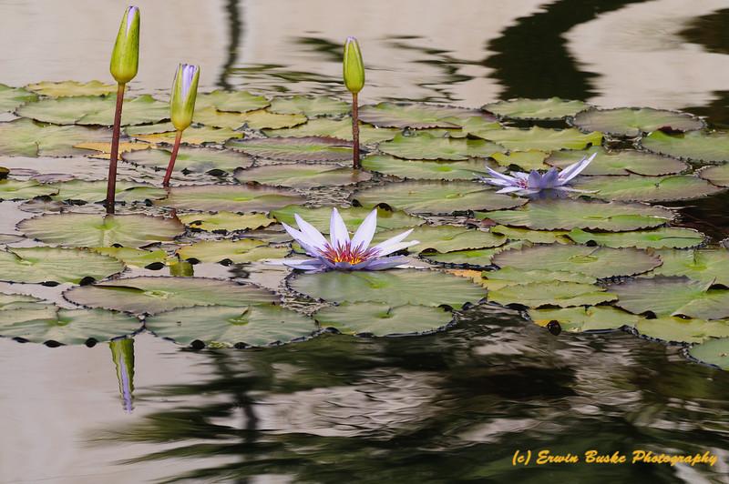 Lily Pads at San Diego Botanical Garden