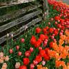 Rosencrantz Tulip Garden 2